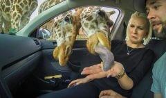 griraffe